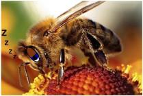 sleep deprivation bees waggle dance