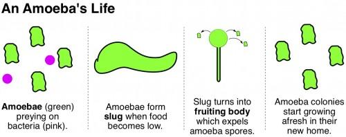 Social Amoeba Farmers Dictyostelium discoideium