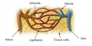 veins capillaries arteries antiangiogenic drugs
