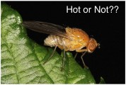 natural selection male attractiveness drosophila hot or not
