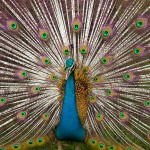 natural selection male attractiveness peacock