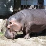 Hippo sunscreen