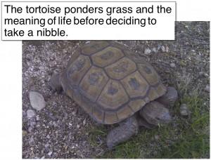 uric acid urea tortoises