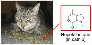 cat eating catnip nepetalactone